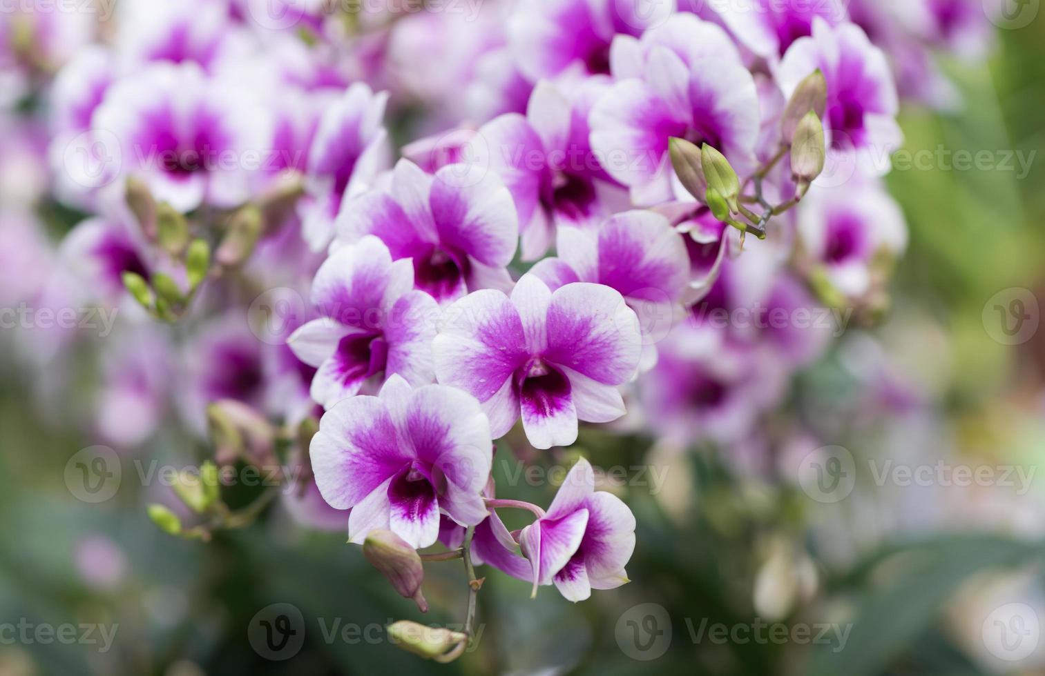 viola ibrido dendrobium orchidea fiore foto