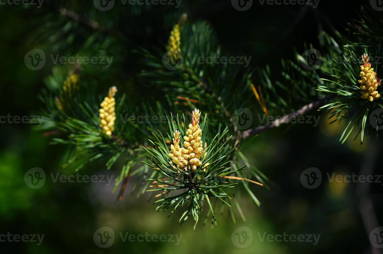 florescendo pinheiro broto. foto