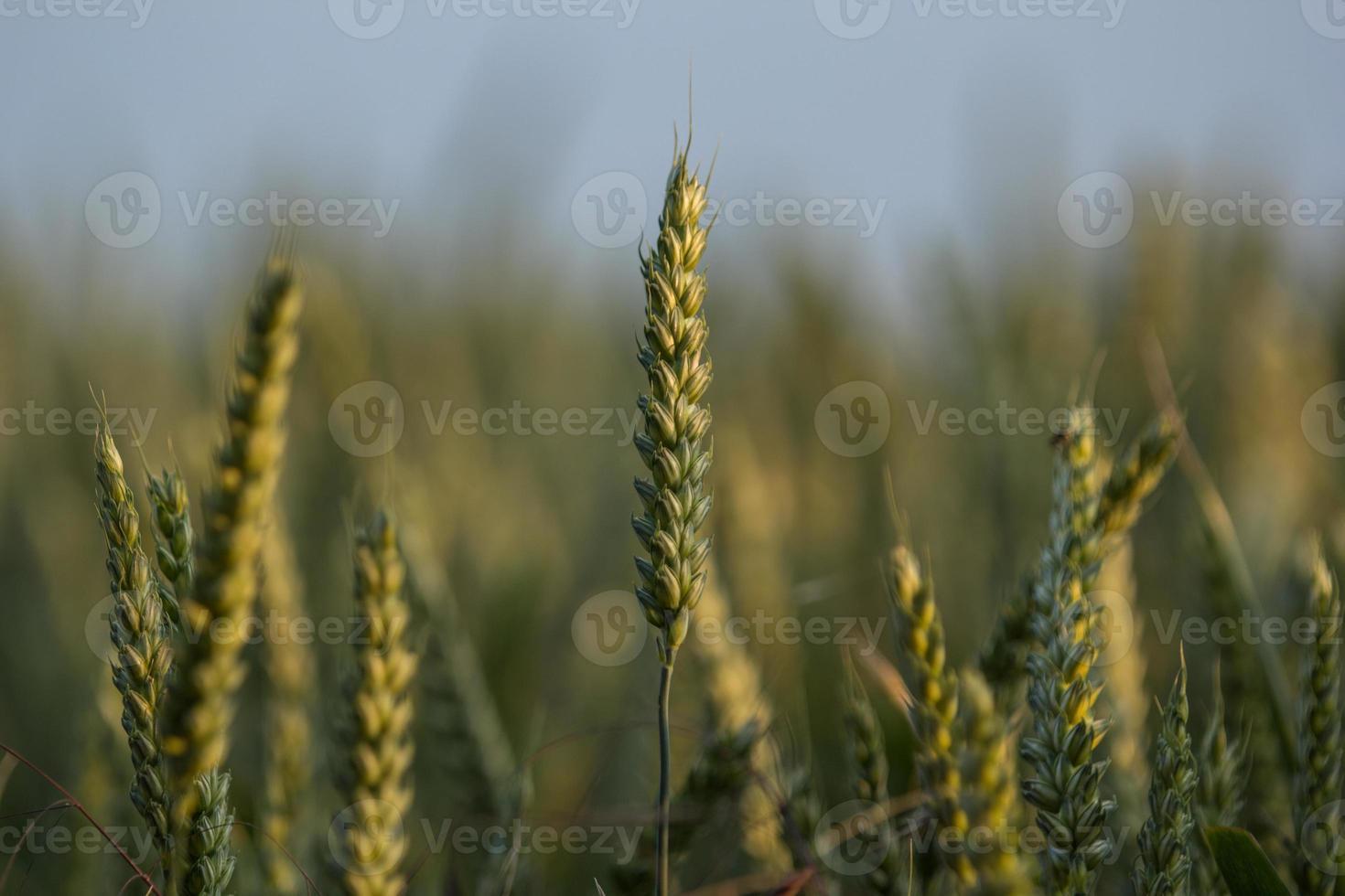 grano pronto per il raccolto foto