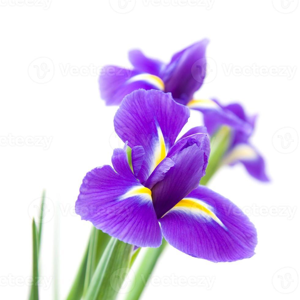 iris morado oscuro foto