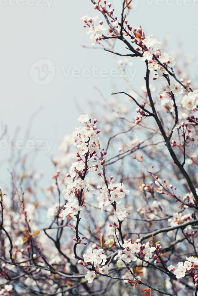 Kirschblütenzweig an einem Frühlingstag foto