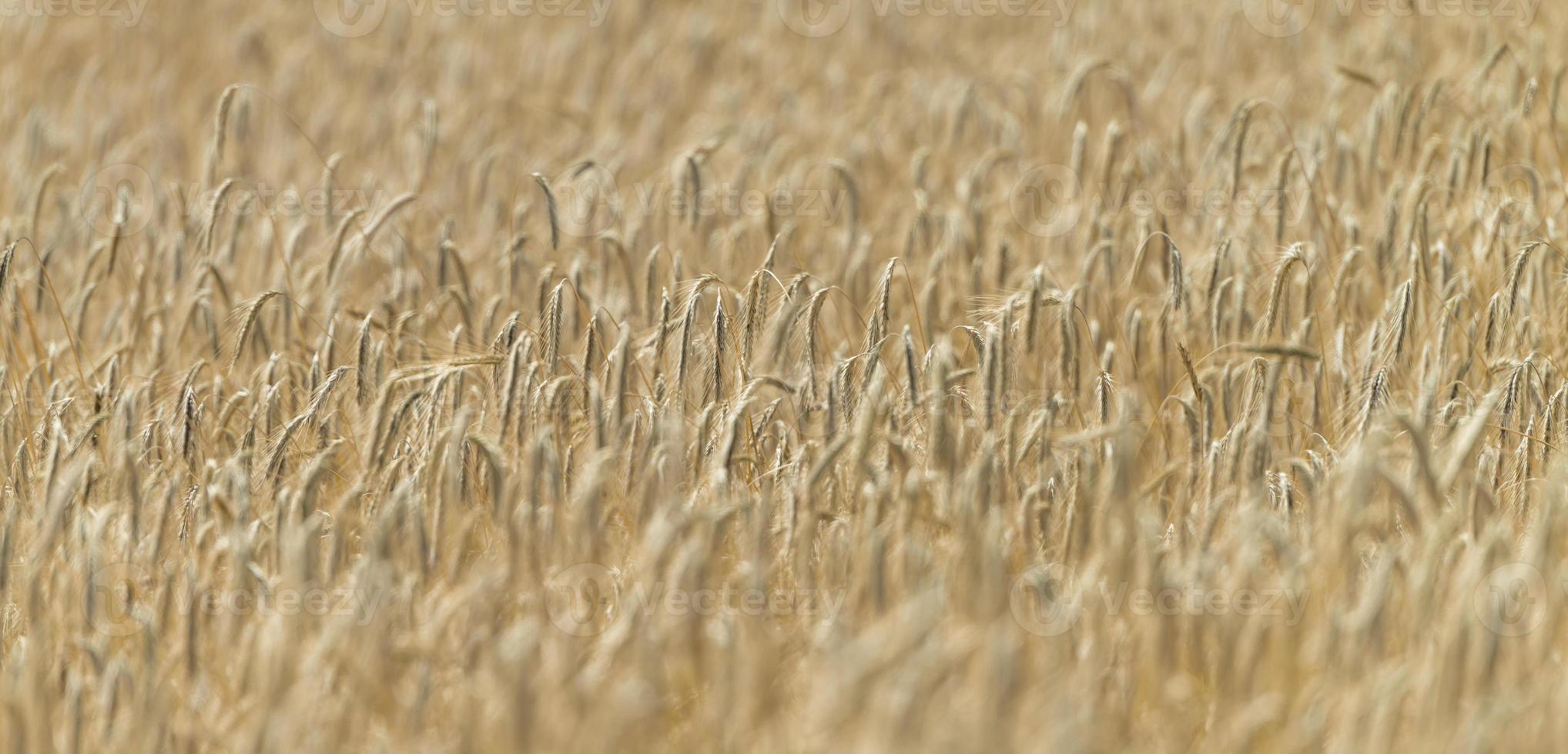 campo de trigo (close-up) foto