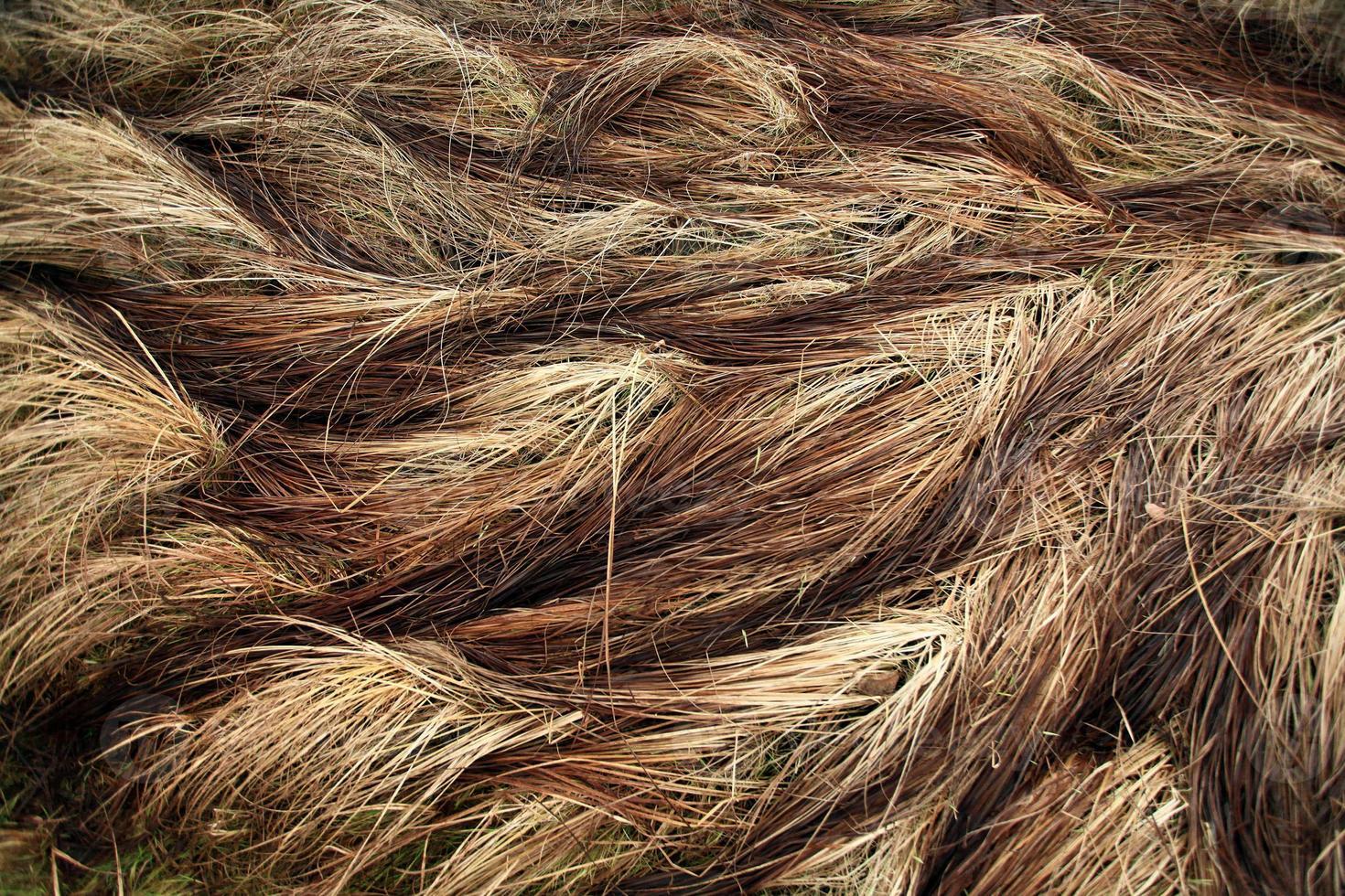 juncia de hierba seca de otoño foto