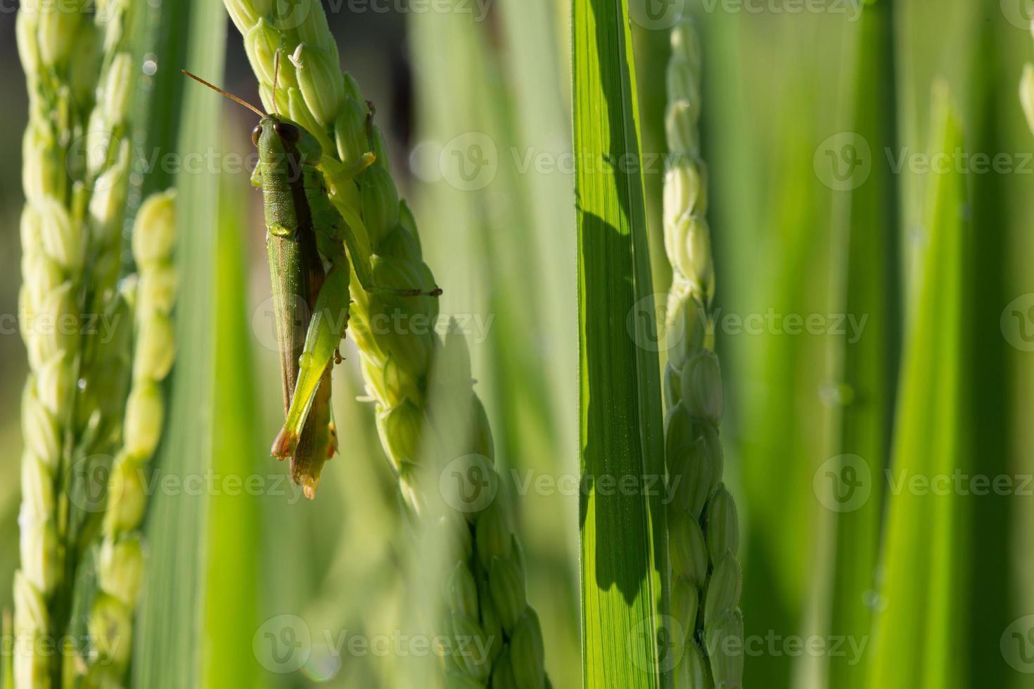 cavalletta verde sul risone dell'agricoltura dei parassiti foto
