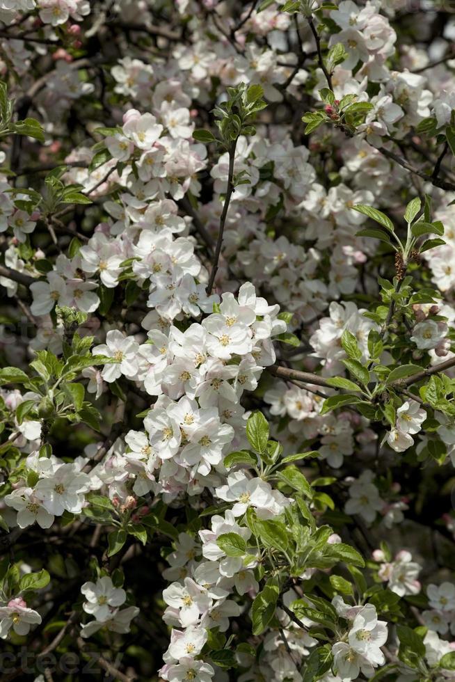melo in fiore foto