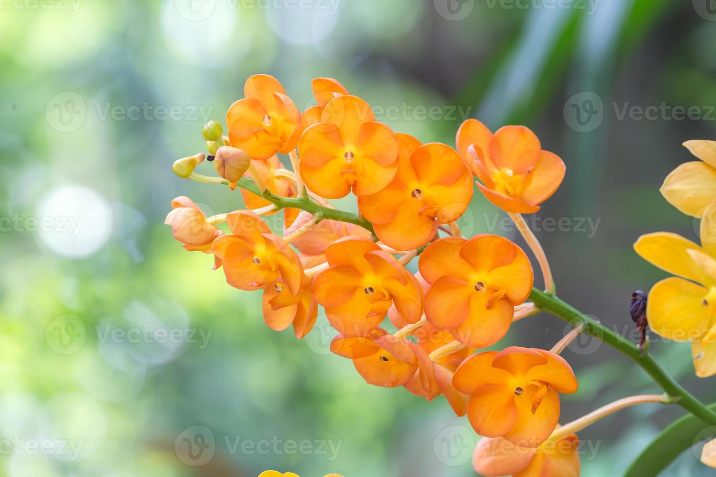 herbergt rosea orchidee, rhynchostylis coelestis de wilde orchidee in thailand foto