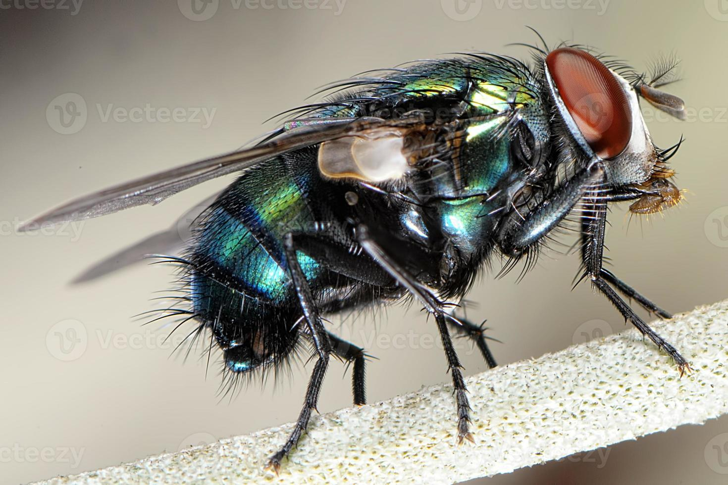 close up de uma mosca doméstica foto