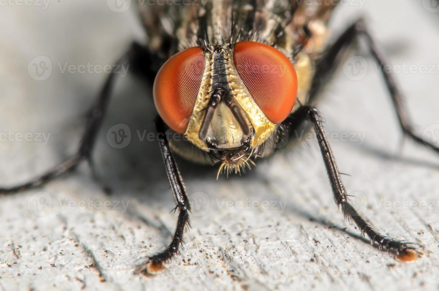 Portrait d'une mouche domestique photo