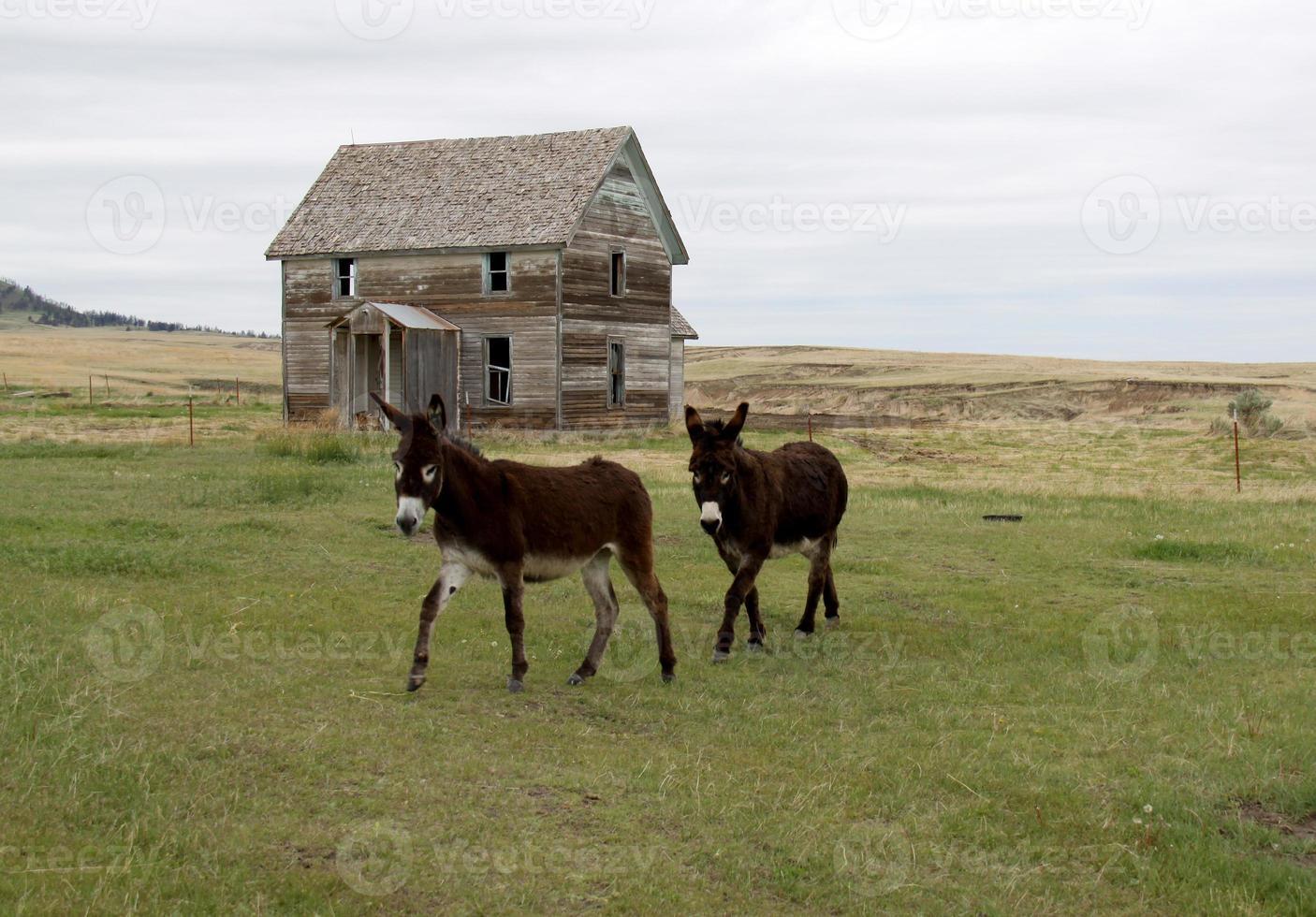 burros y antigua casa de campo abandonada foto
