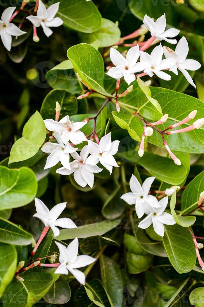 fleur de karonda blanche photo