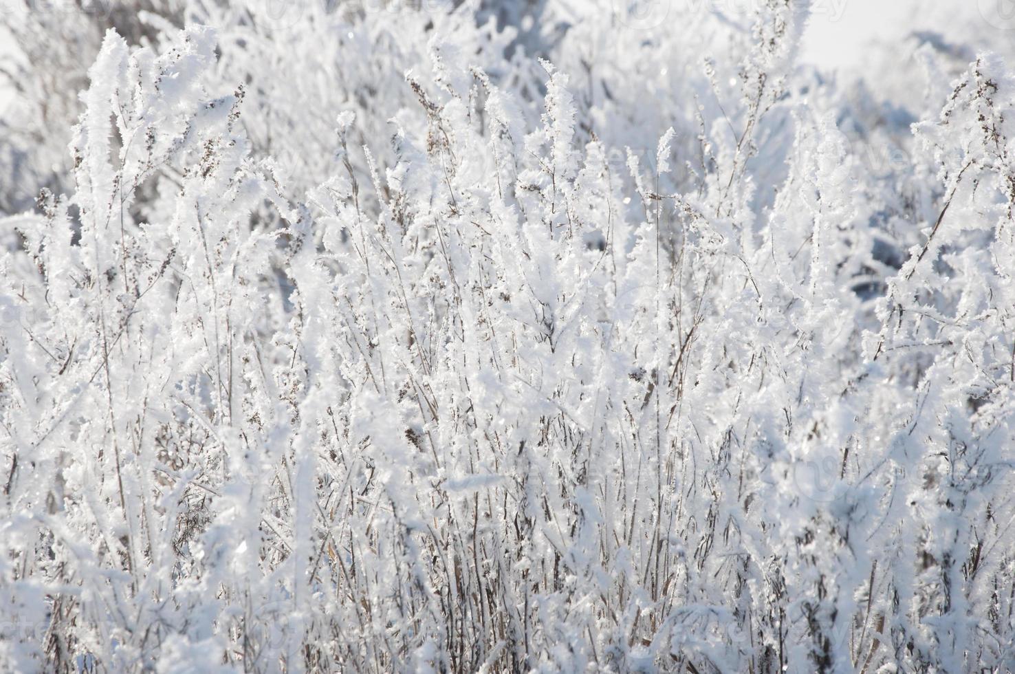 droog gras onder de sneeuw foto