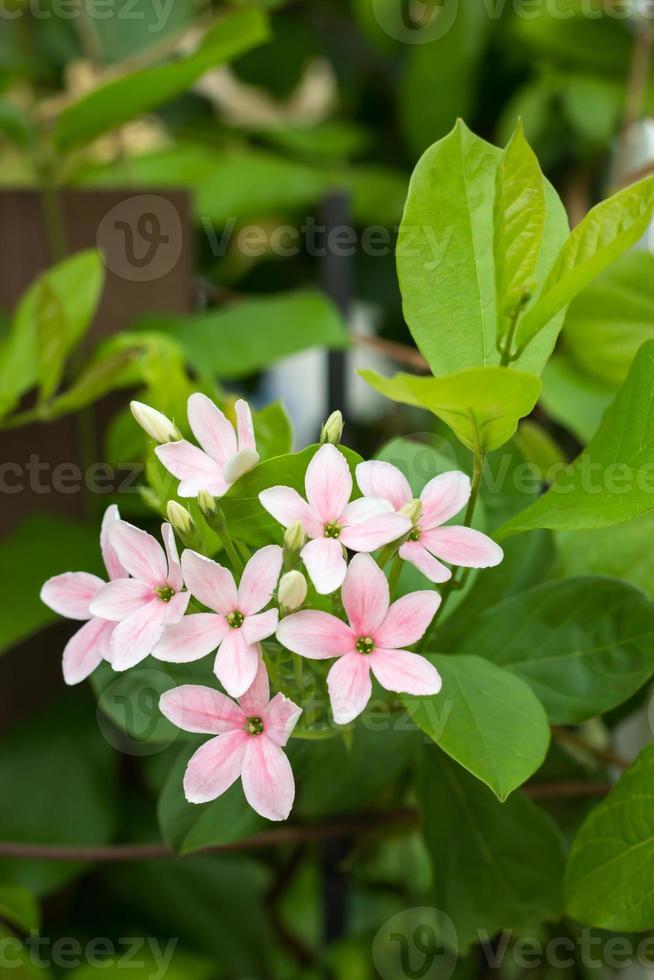quisqualis indica fiore foto