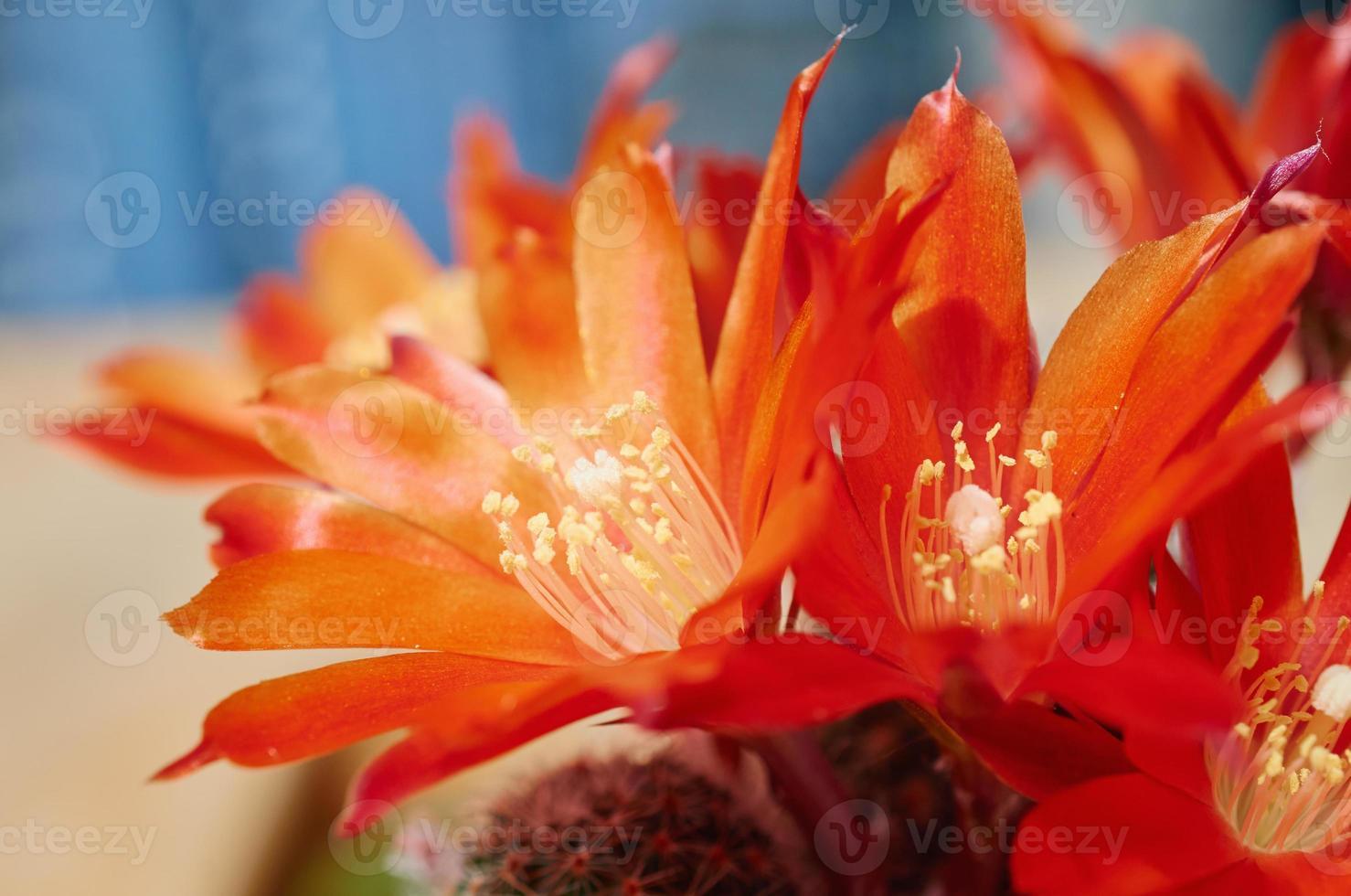 bloem cactus rebutia heliosa macro op natuur achtergrond foto