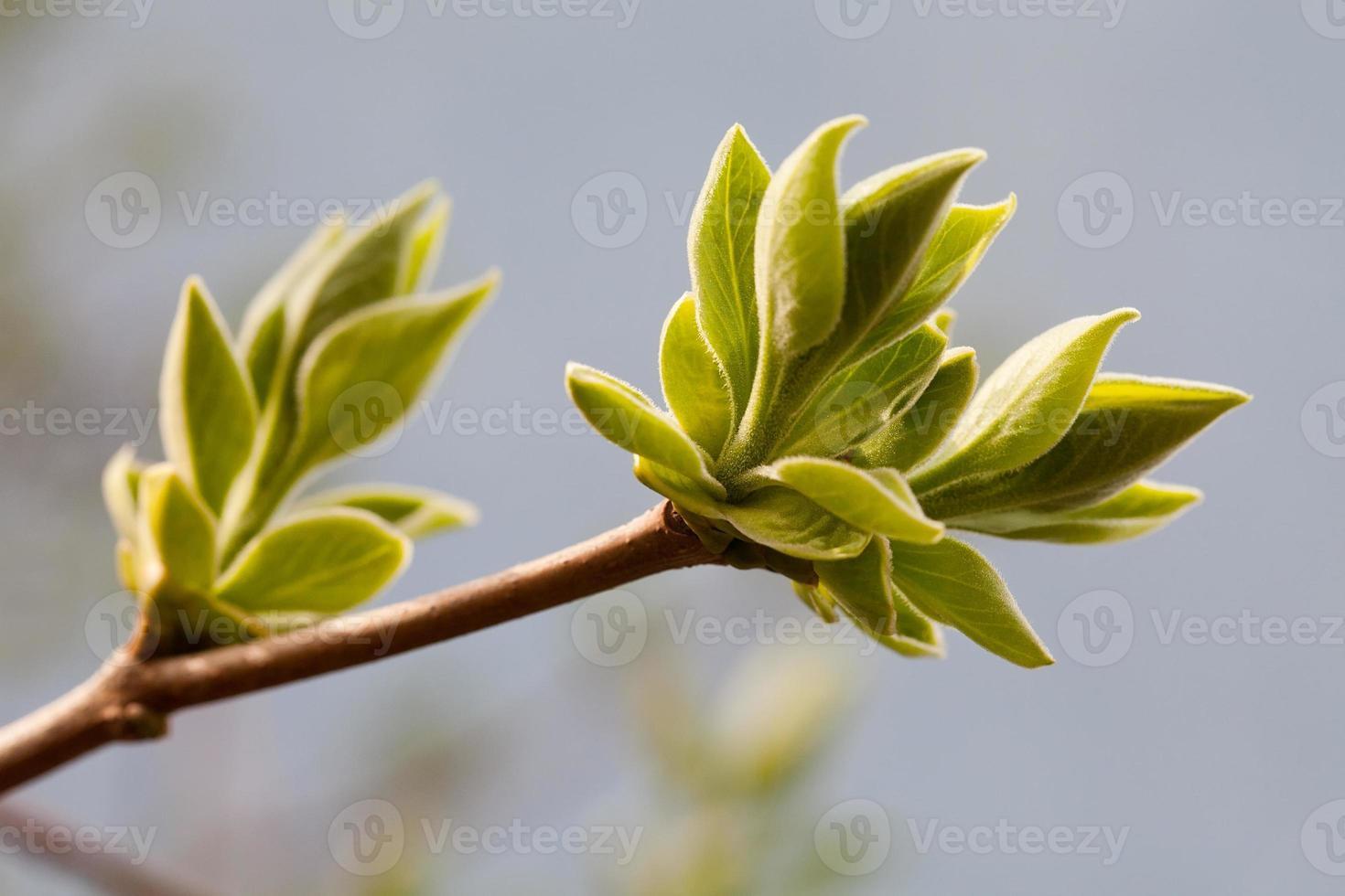 folhas jovens. Primavera. (foco suave). foto