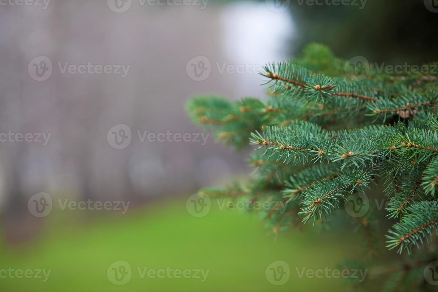 takken van pijnbomen foto