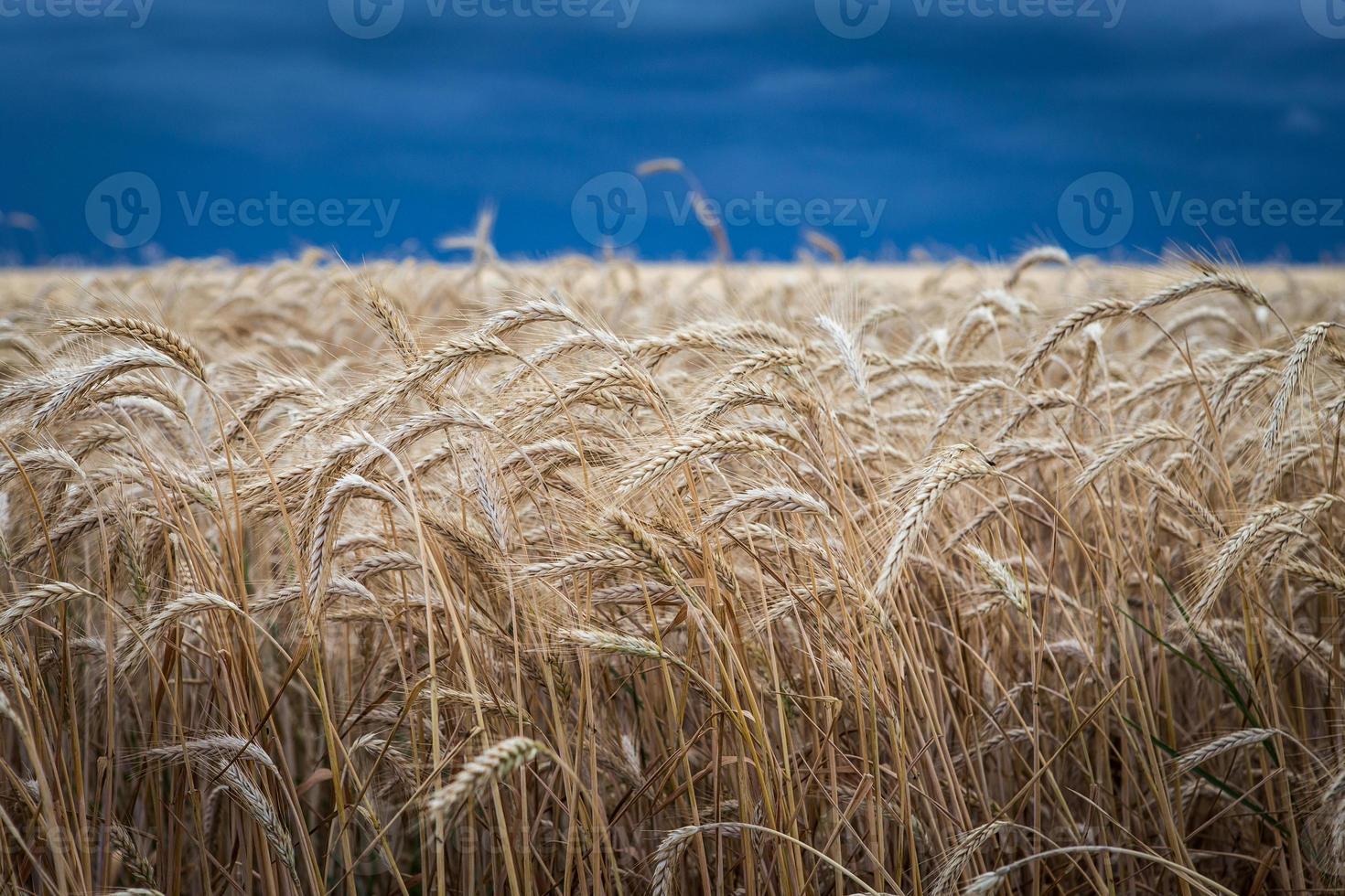 campo di grano d'oro prima della tempesta foto