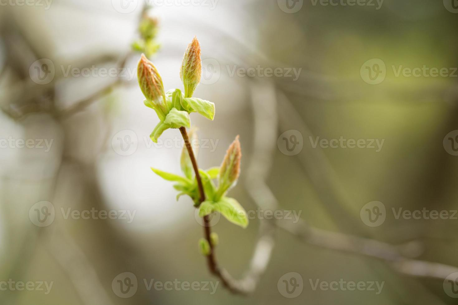 acer tataricum primi germogli e foglie foto