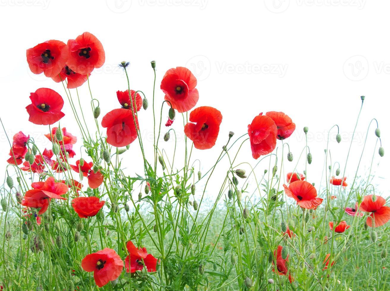 amapolas rojas foto