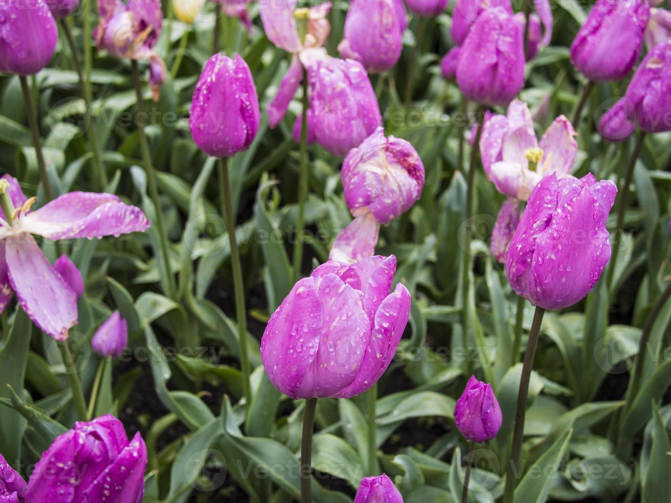 tulipanes rosados foto