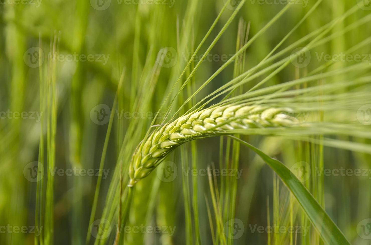 green wheat photo