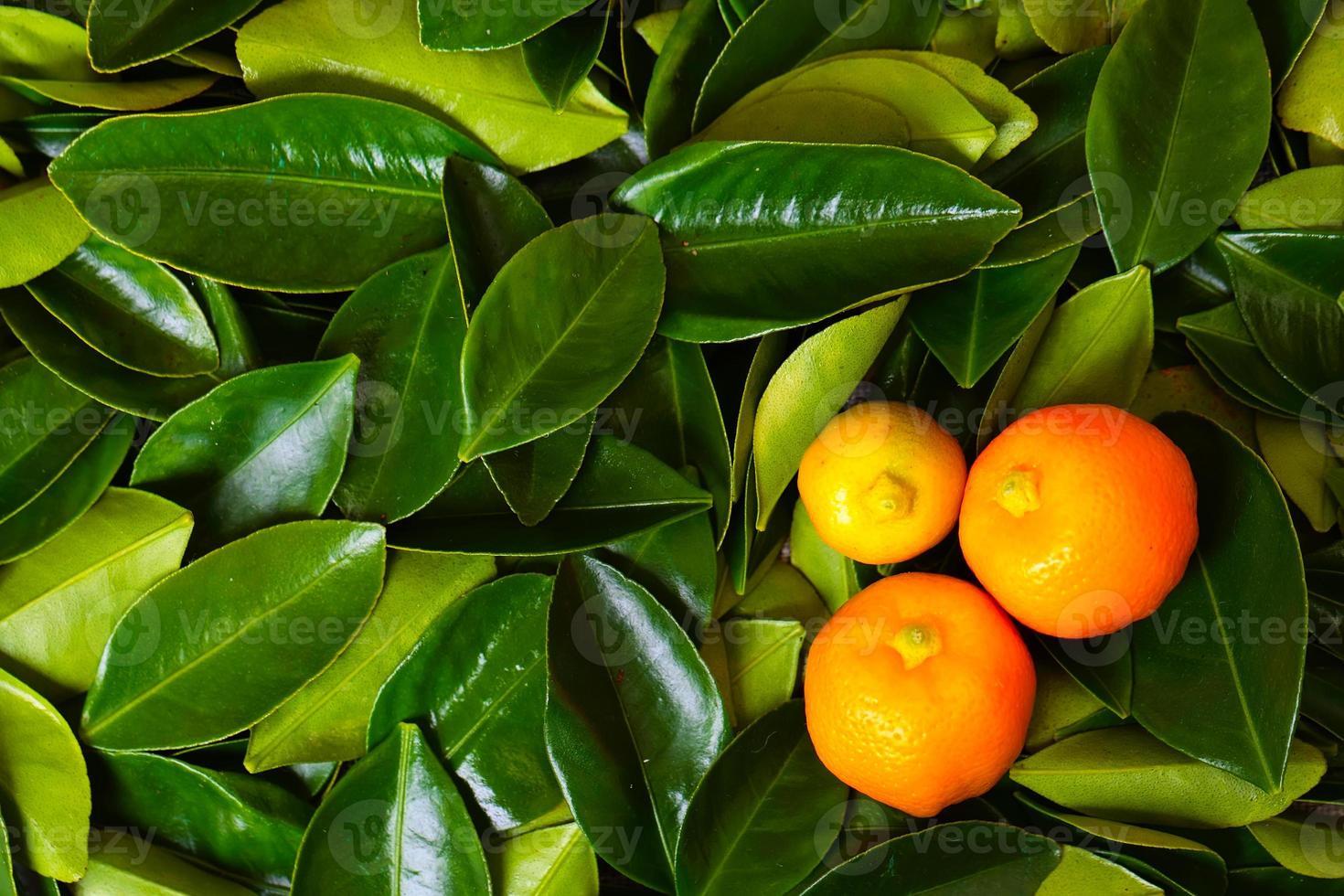Calamondin citrus fruits photo