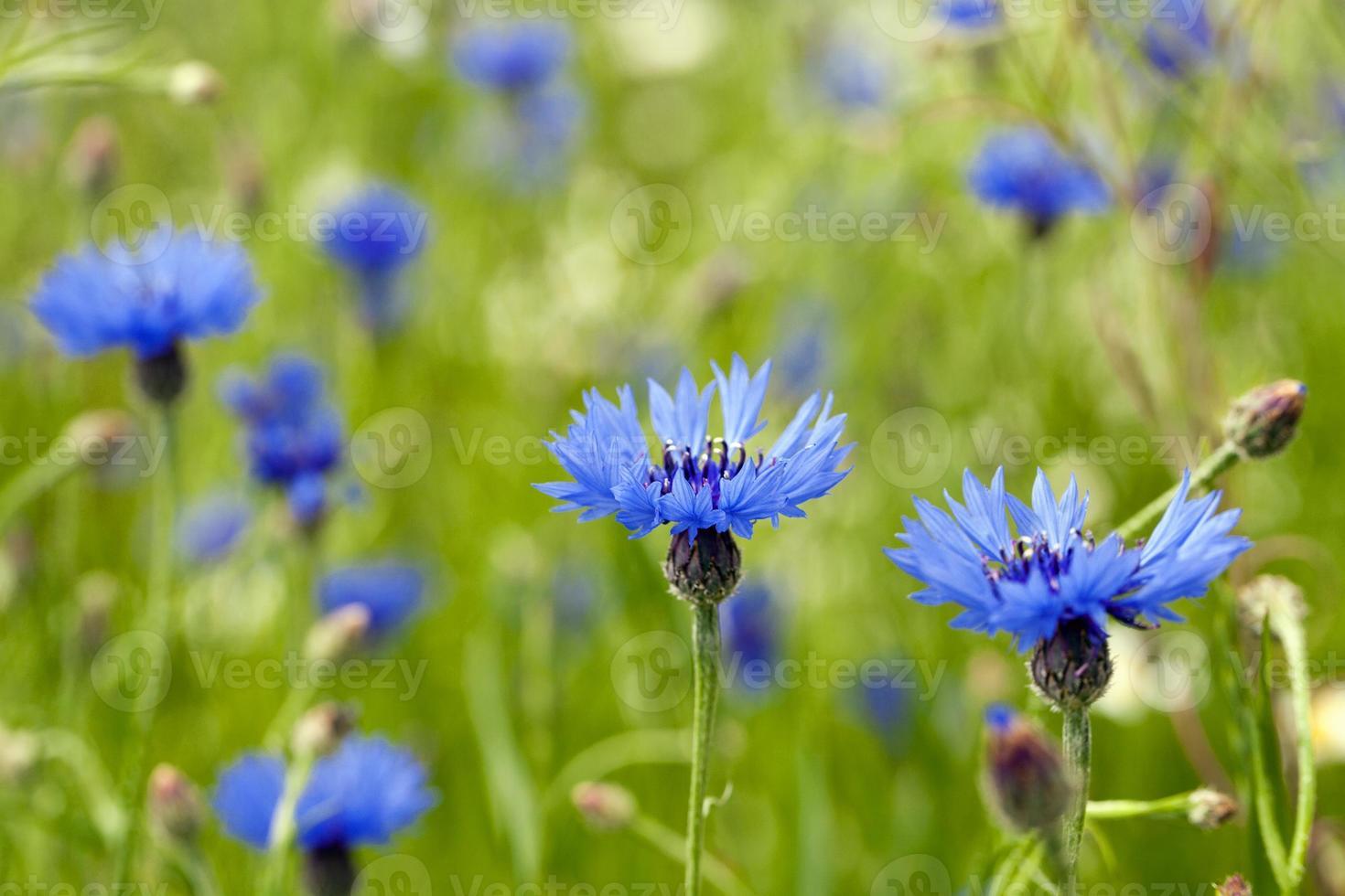 blauwe korenbloem foto
