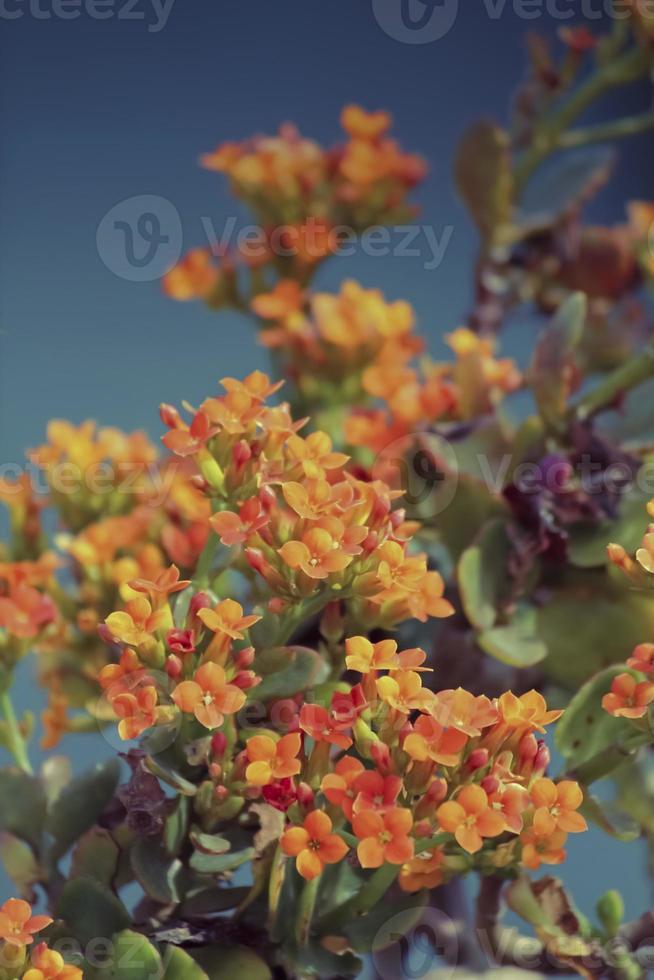 Kalanchoe, Kalanchoe blossfeldiana photo
