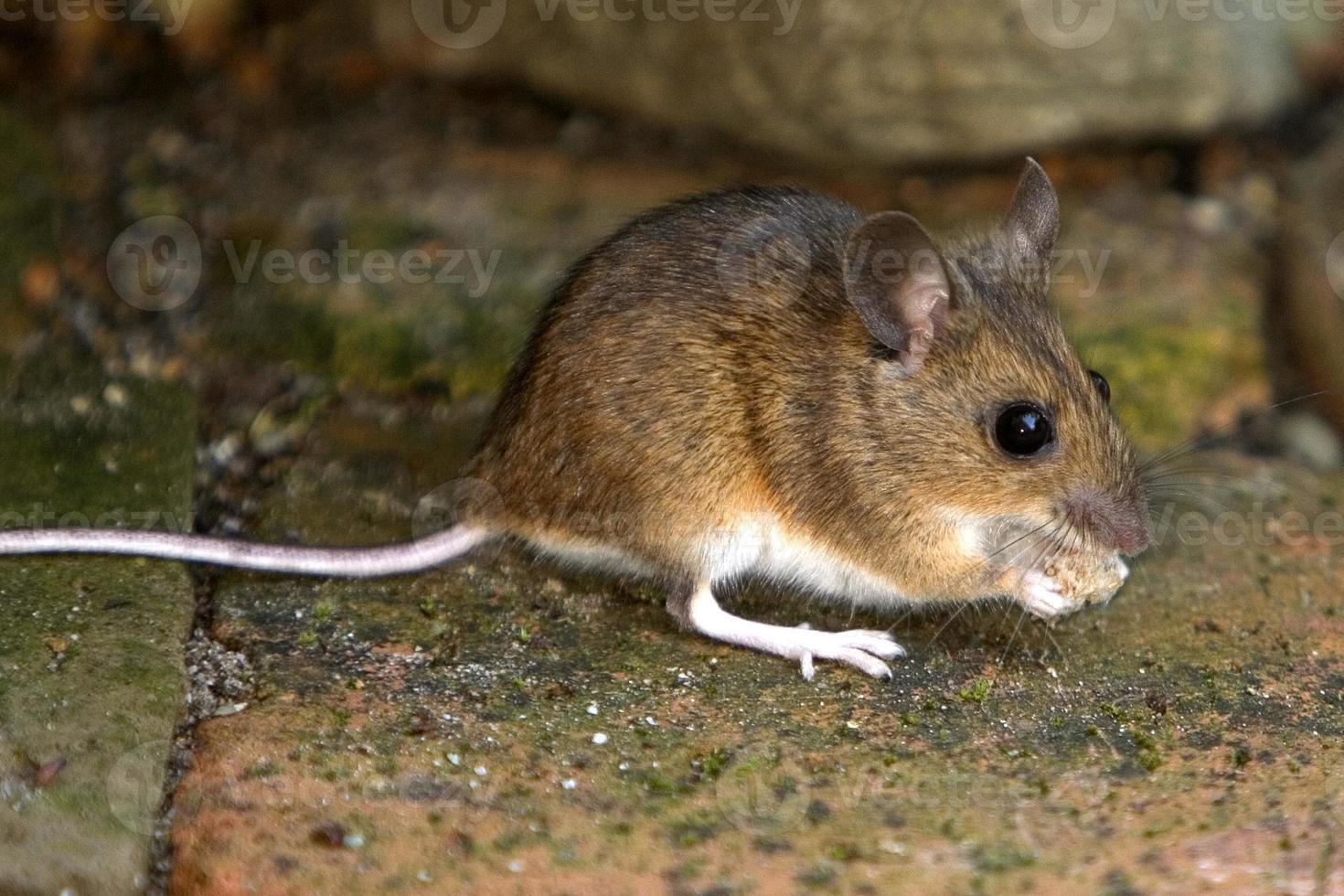 ratón foto