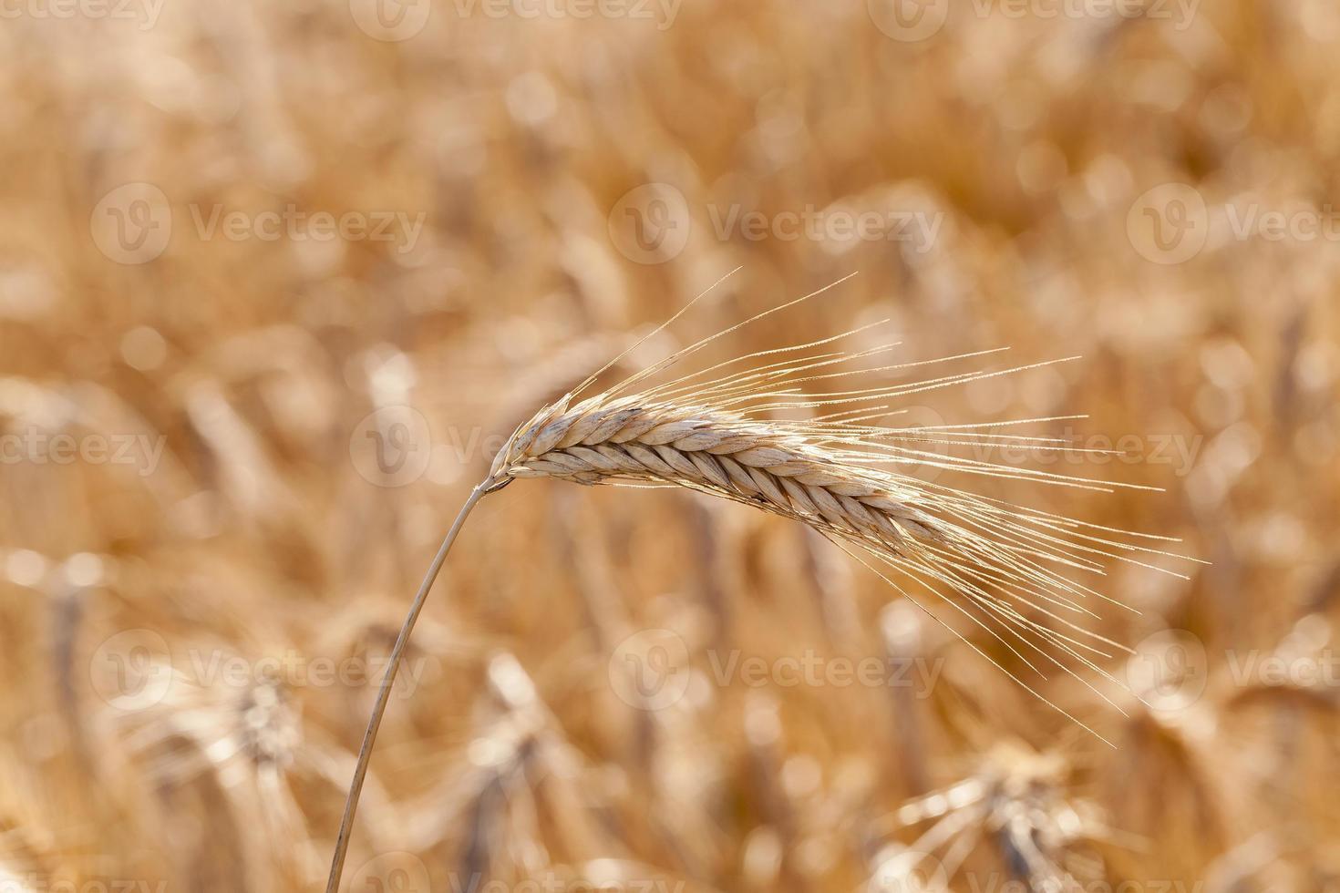 los cereales maduros foto