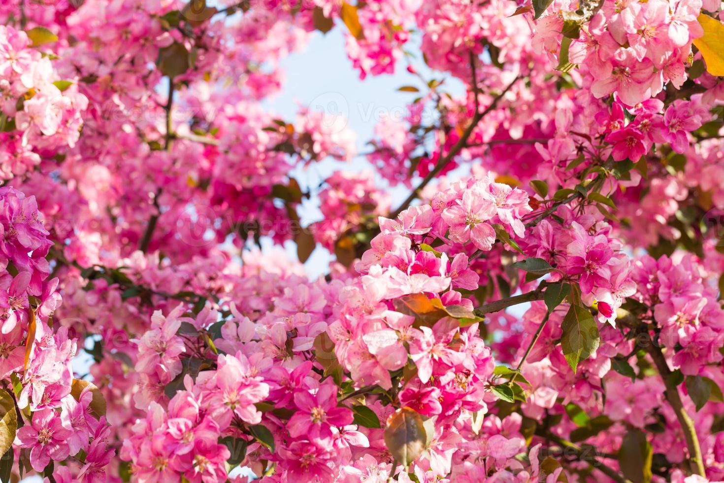 manzano del paraíso floreciendo, foto