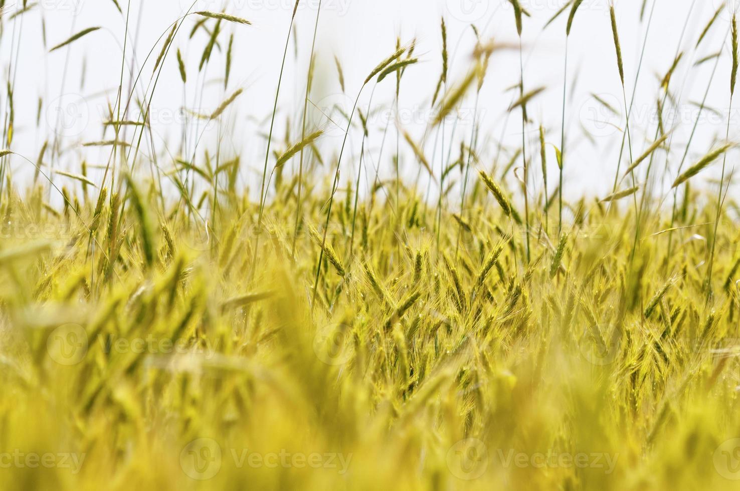 detalle de trigo verde foto