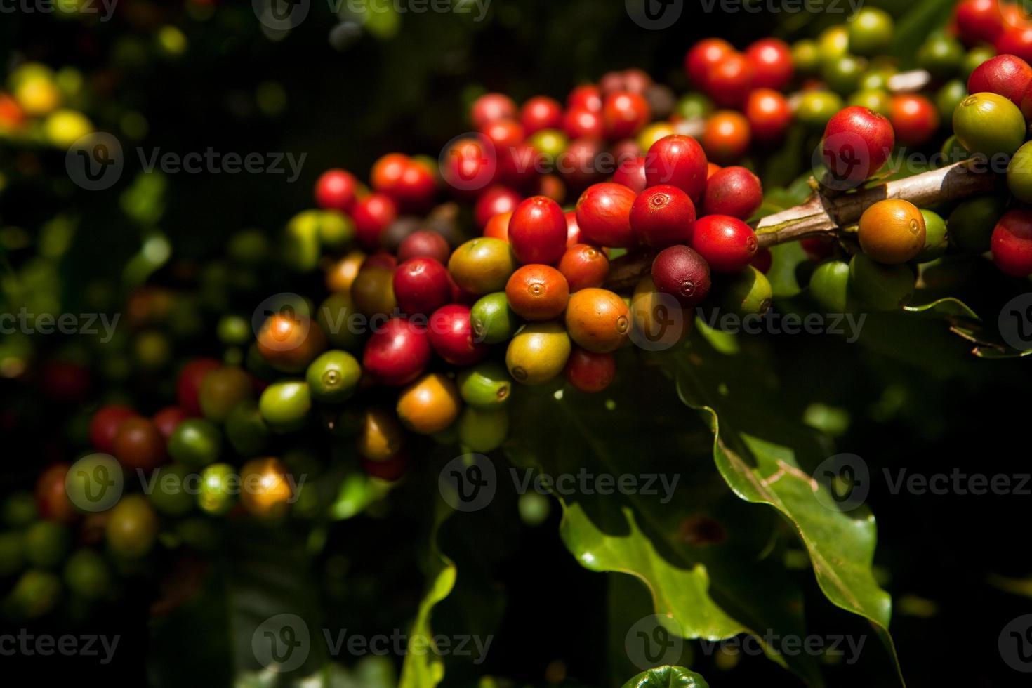 Plantación de cafés especiales en mato grosso - brasil foto