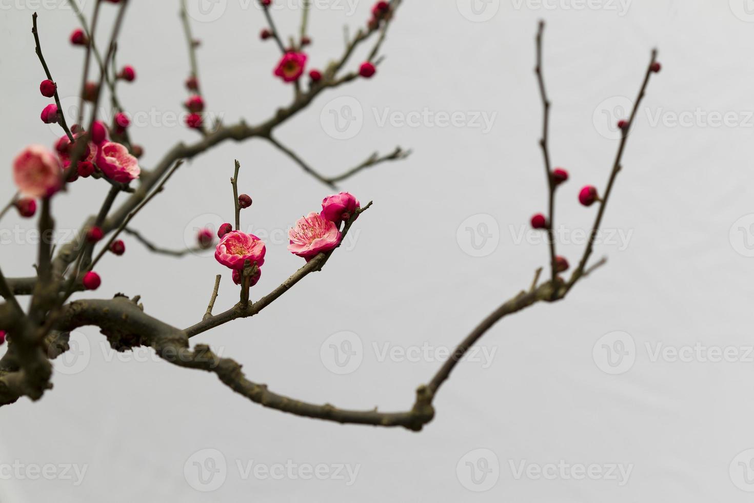 flor de ciruelo, 梅花 出 墙 foto