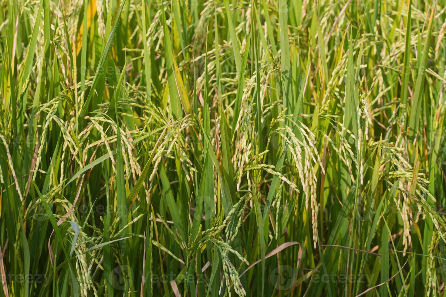 el hermoso paisaje de los campos de arroz foto