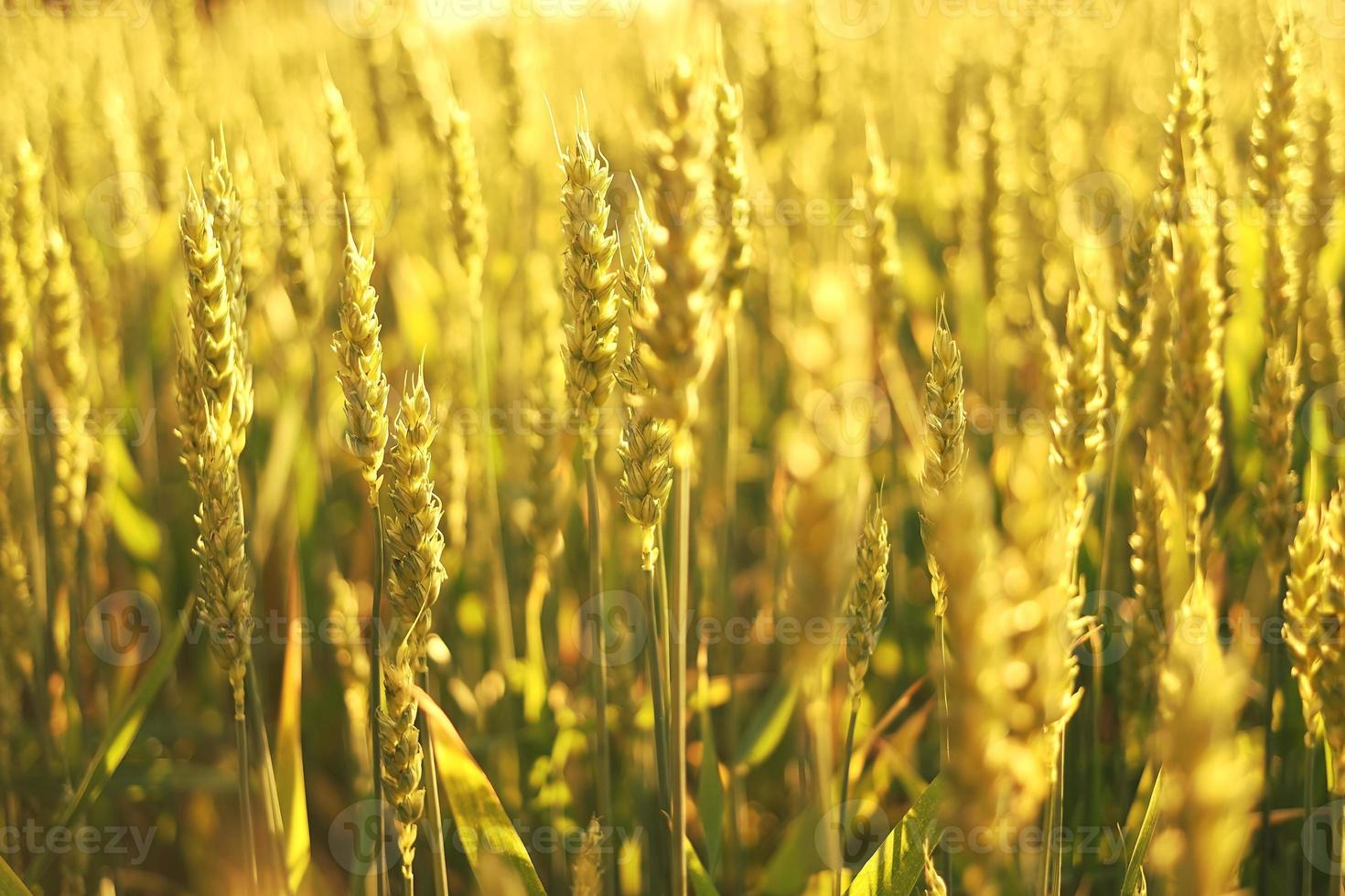 campo de trigo en el sol. foto