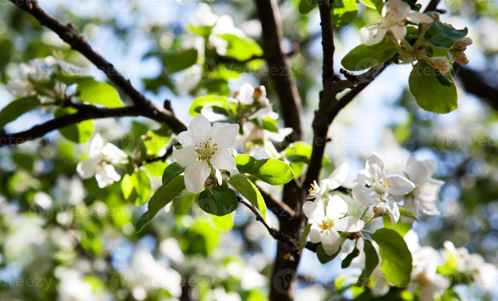 Apple-tree blossom photo