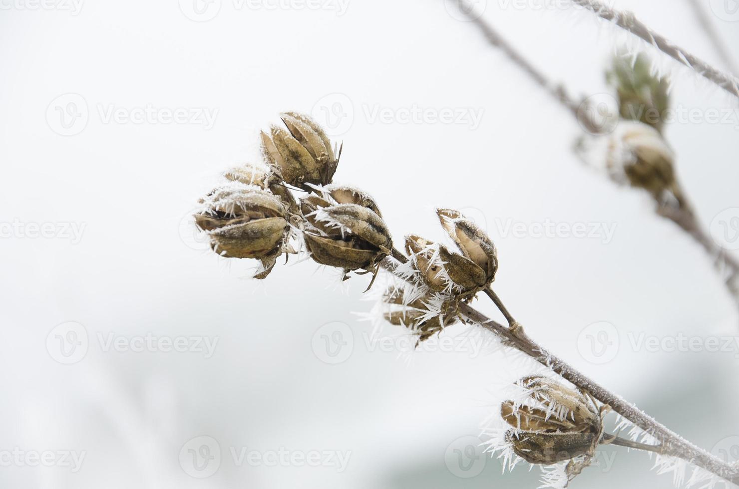Fleur seche en givre photo