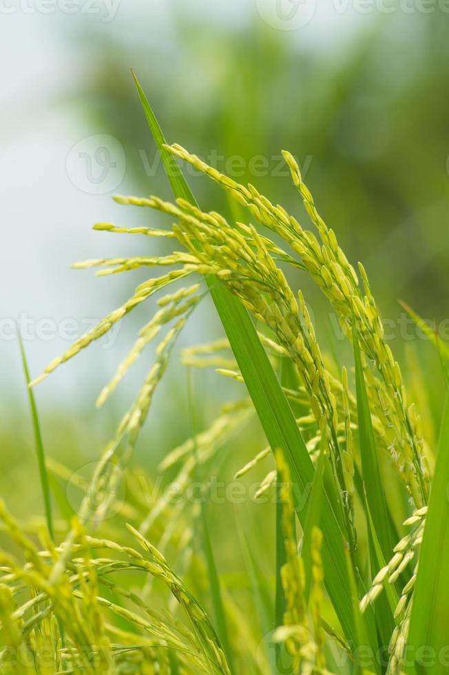 arrozal foto