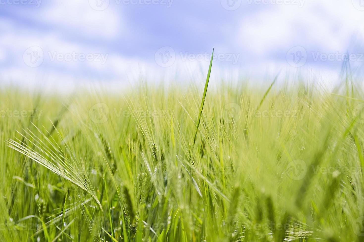 campo de trigo, safra fresca de trigo. foto