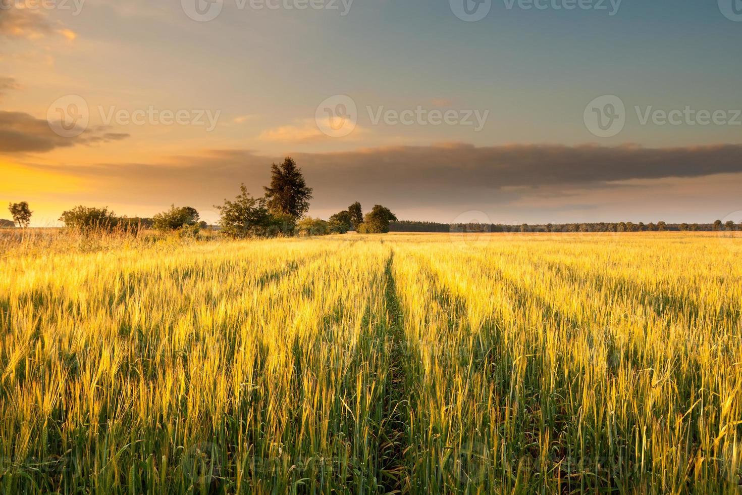 puesta de sol sobre el campo de maíz de verano foto