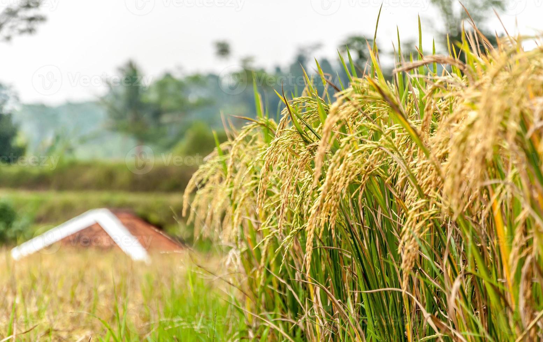 campo de arroz (campo de arroz) foto
