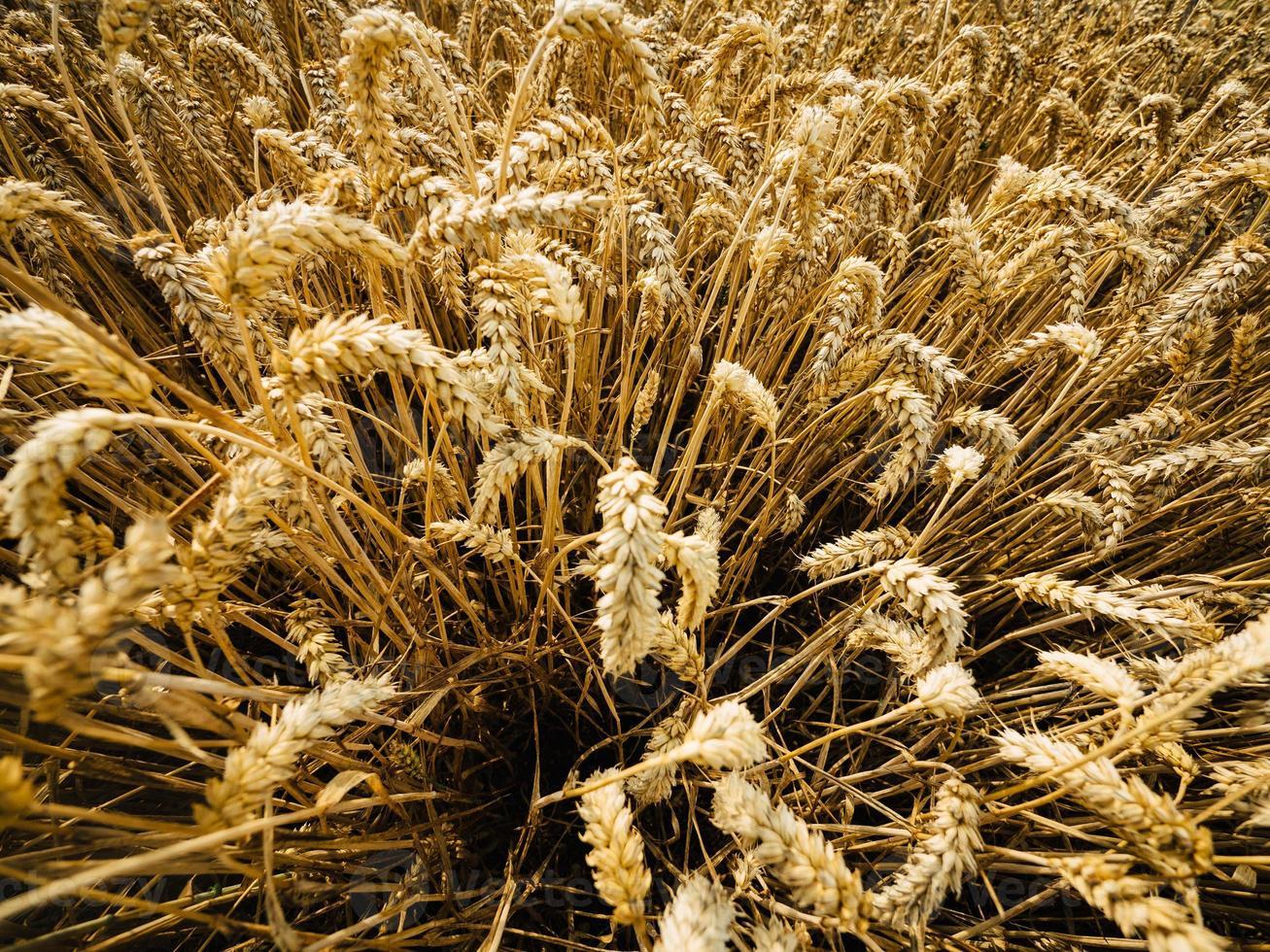 cosecha de trigo foto
