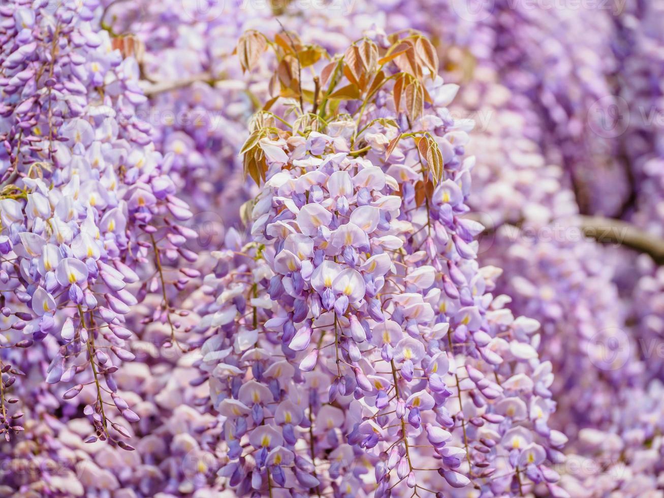 Spring flowers series, purple Wisteria photo