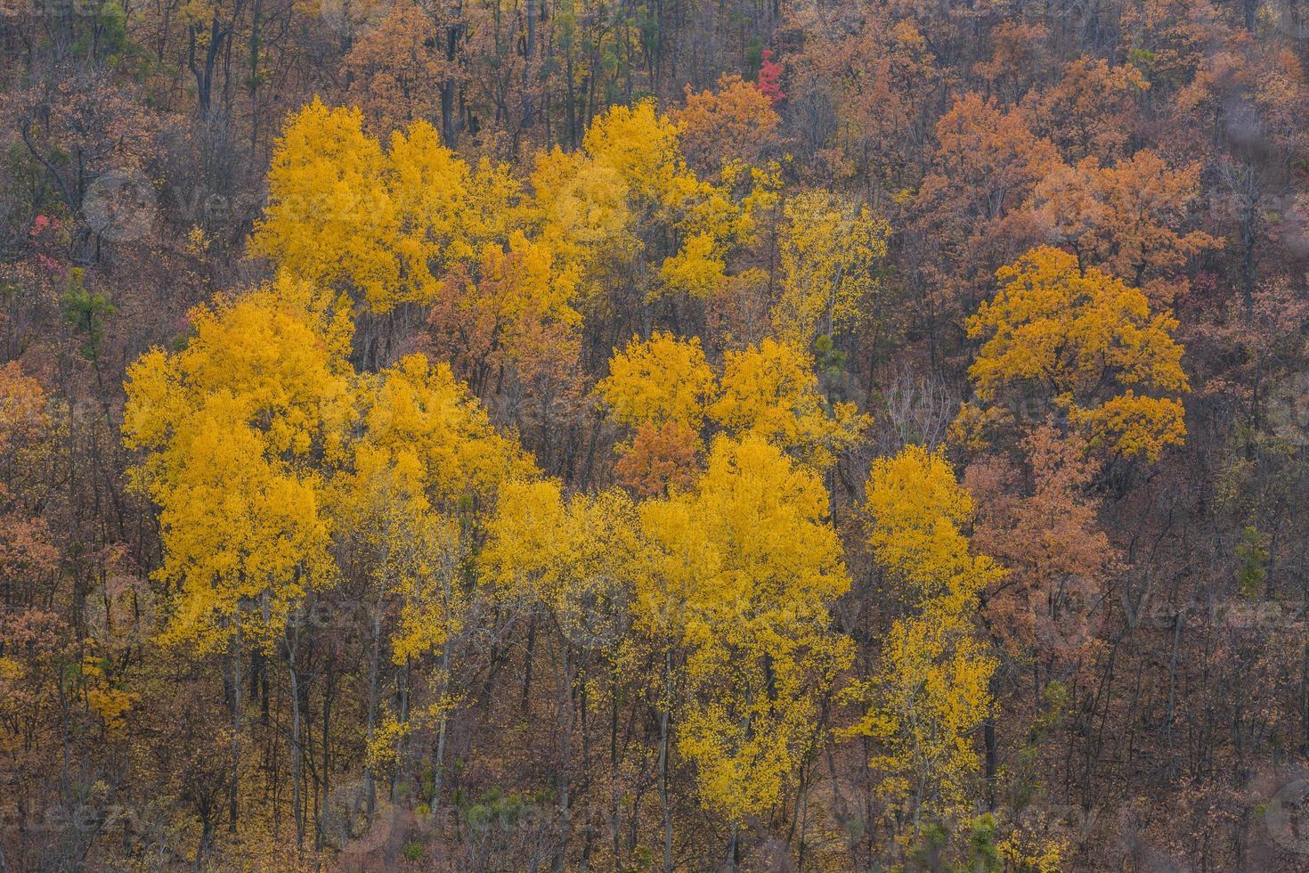 hojas doradas en la rama, madera de otoño foto