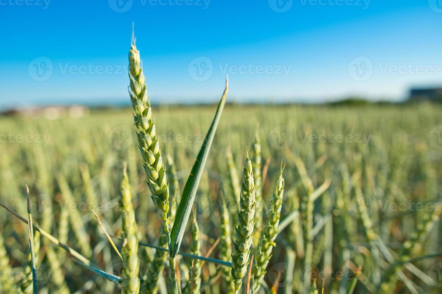 detail of wheat field photo