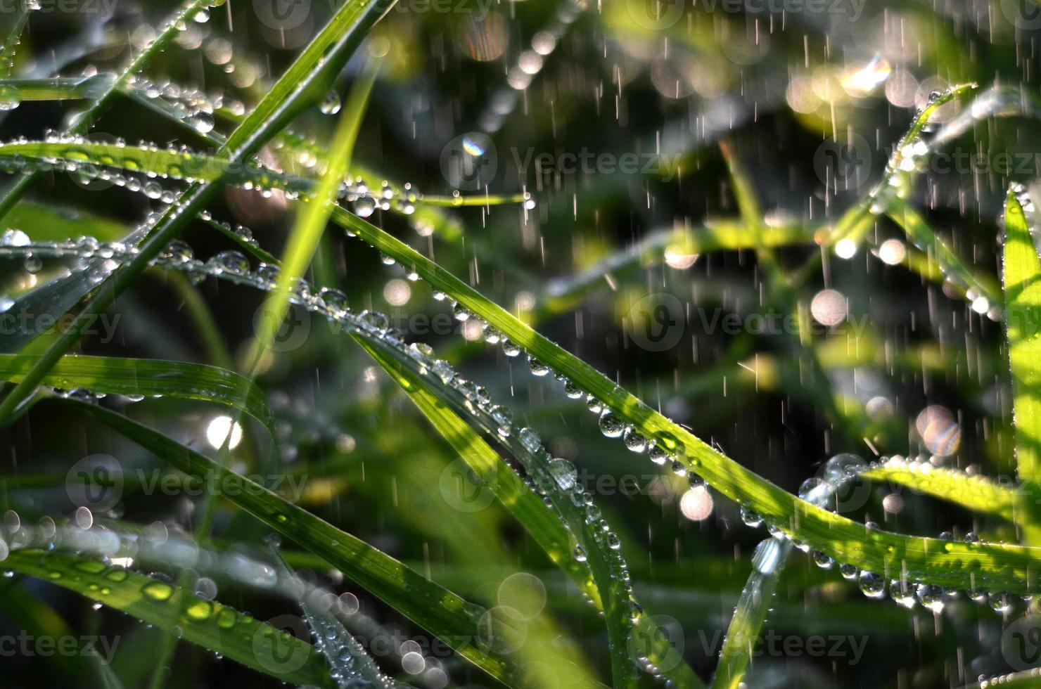 falling raindrops on a green grass in the morning photo