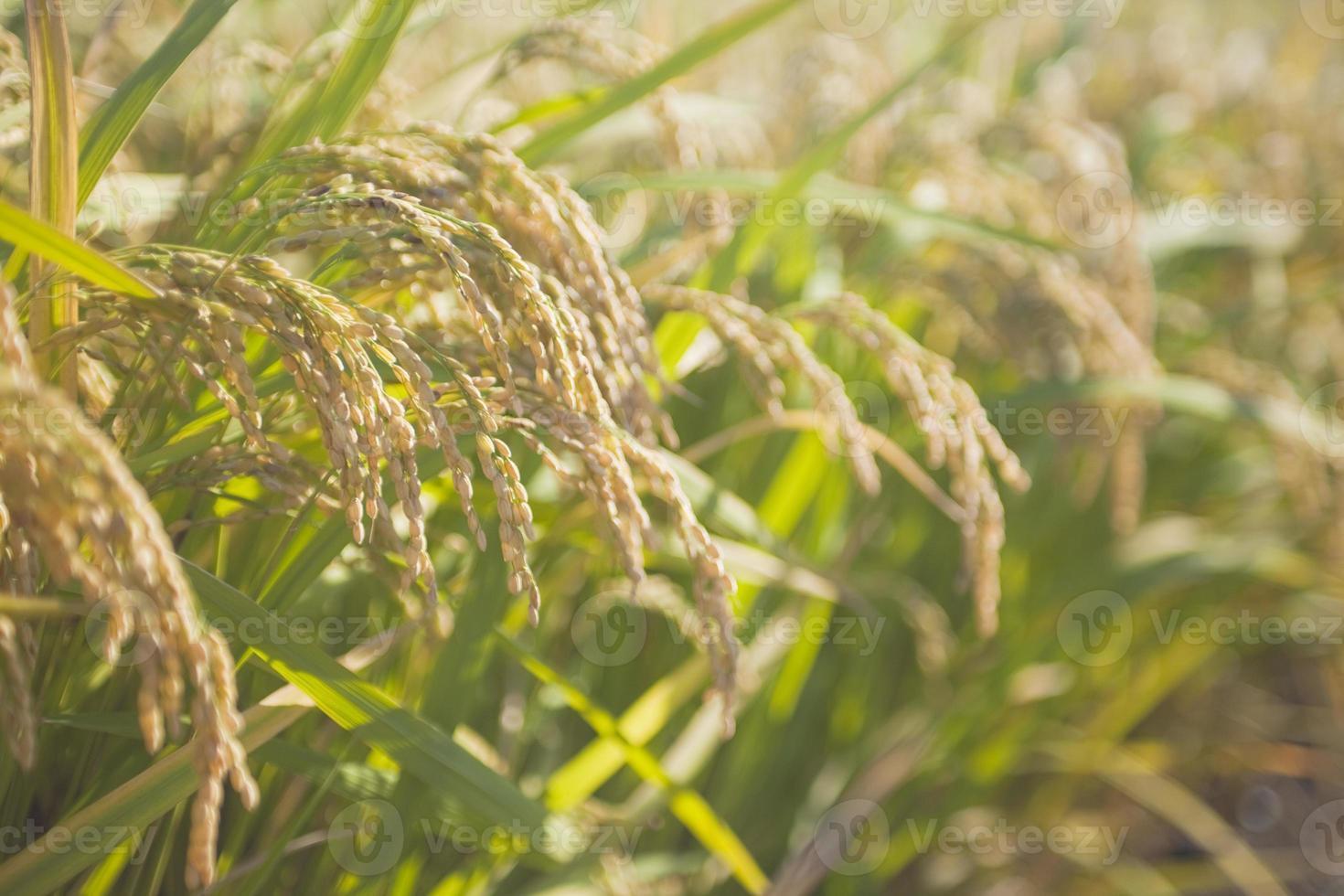 espiga de arroz foto