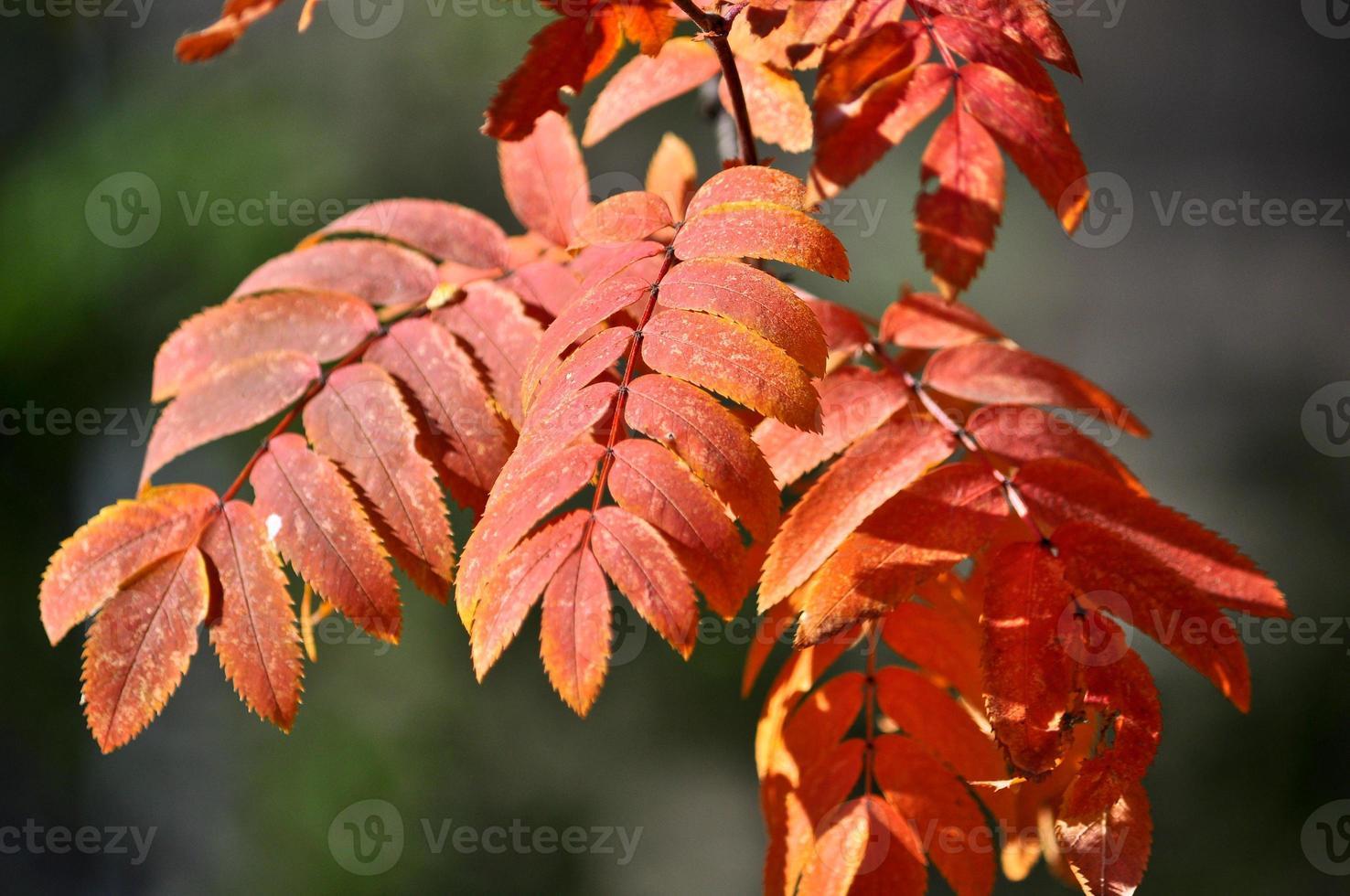 época de caída de las hojas: hojas brillantes en las ramas. foto