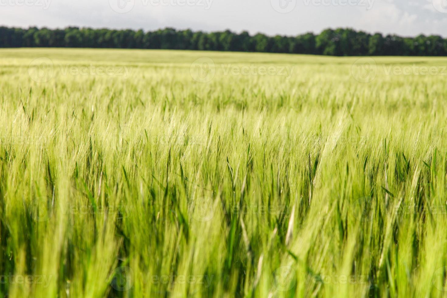trigo verde en el campo foto