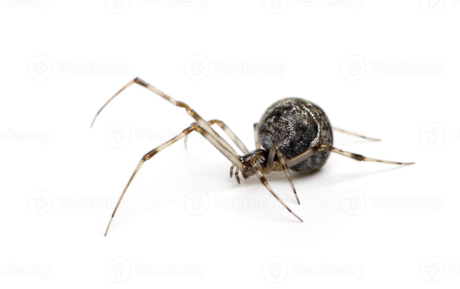 Araña común de la casa - achaearanea tepidariorum foto